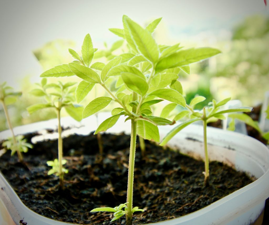 Re-Growing Lemongrass
